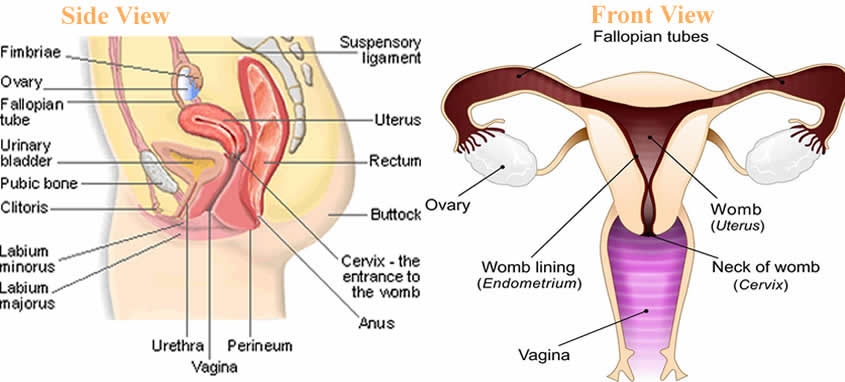 two ovaries and fallopian tubes in the female reproductive system - female  reproductive structure diagram