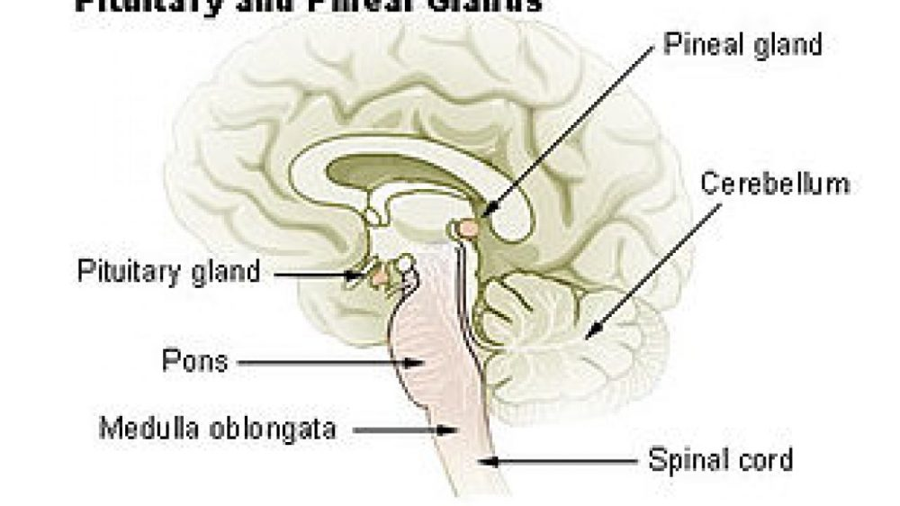 medium resolution of endocrine glands and the most important pituitary glands in the human body science online