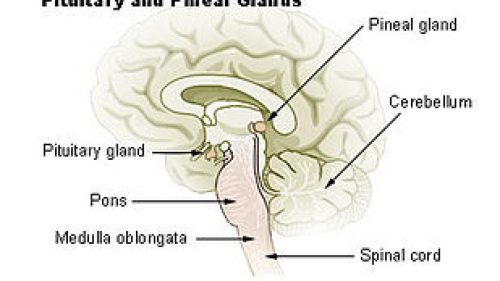 small resolution of endocrine glands and the most important pituitary glands in the human body science online