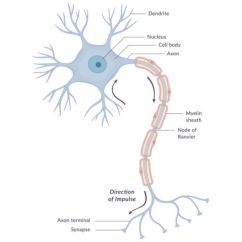 Blank Diagram Of Synapse 1978 Vw Bus Wiring Nervous System In Man , Nerve Cells Types & Nature Impulse | Science Online