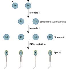 Stages Of Meiosis Diagram Labeled 1979 Kawasaki Kz1000 Wiring Gametogenesis In Human-spermatogenesis And Oogenesis