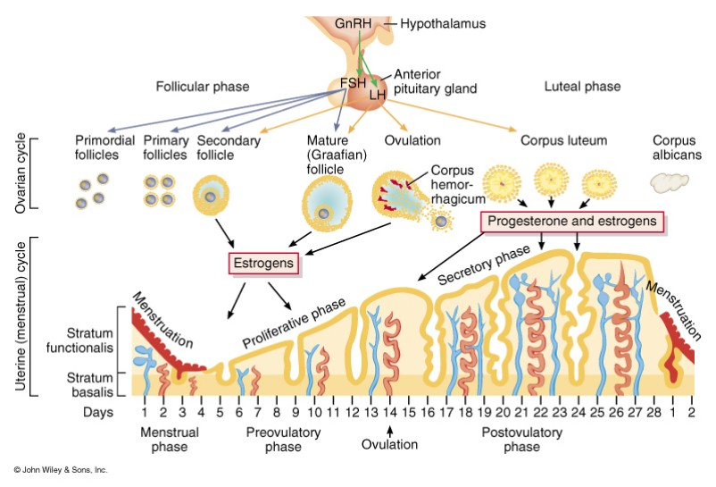 menstrual cycle diagram with ovulation stepper motor wiring ovarian phase proliferative or follicular ovulatory luteal secretory