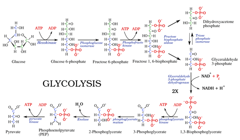 medium resolution of enzymatic diagram of glycolysis best wiring diagram enzymatic diagram of glycolysis