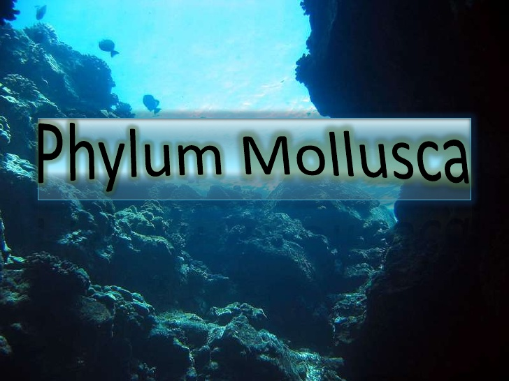 Phylum Mollusca General Characteristics And Classification