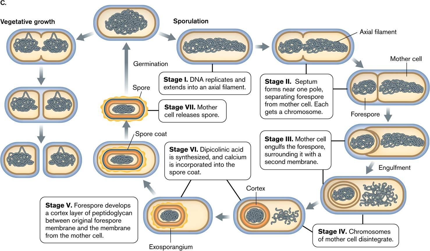 Bacterial Spore Structure Types Sporulation And
