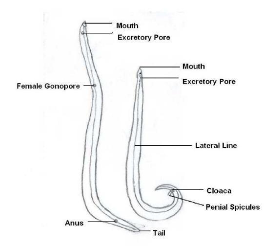 Ascaris lumbricoides: Morphology, life cycle, Pathogenesis