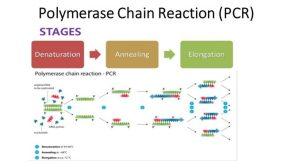 Polymerase chain reaction (PCR): Principle, procedure or