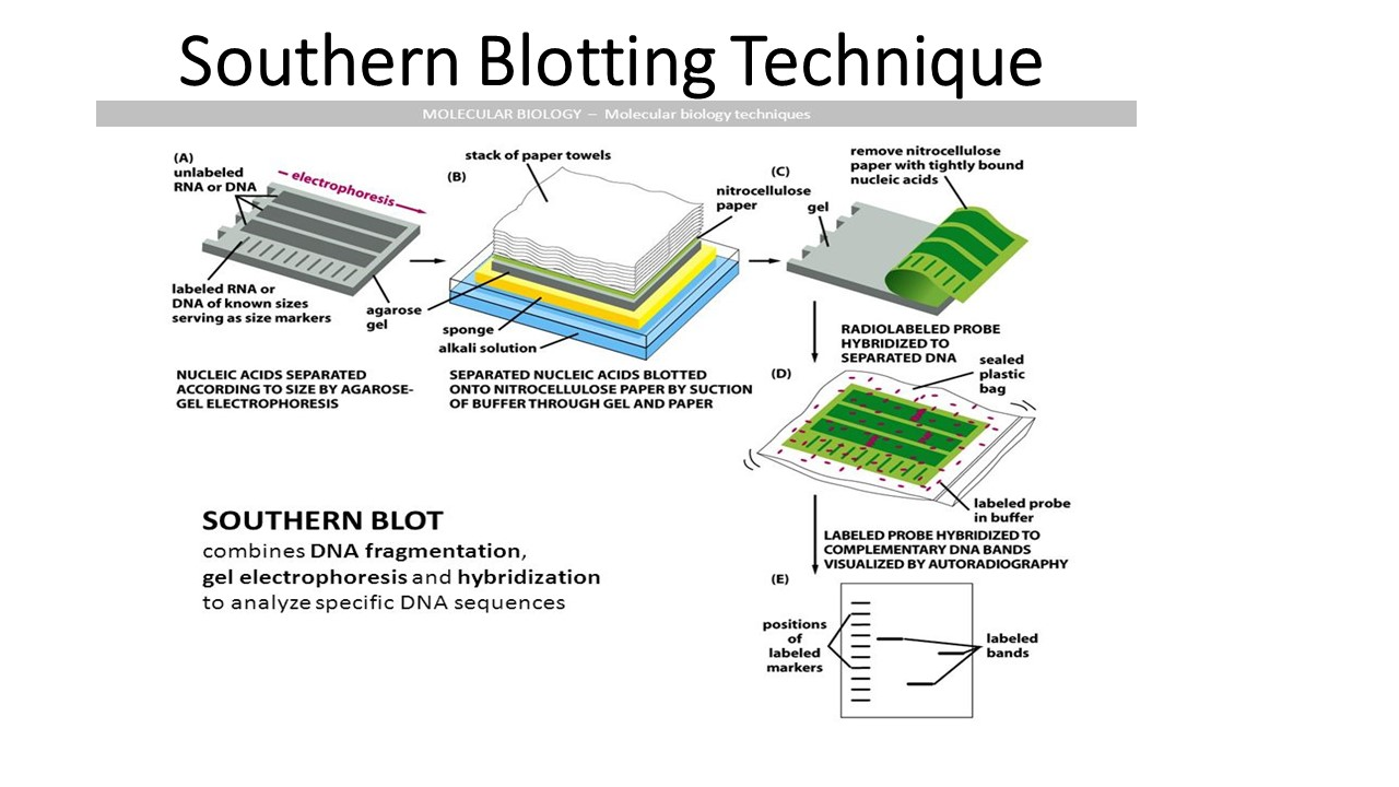hight resolution of southern blotting principle procedure and application online biology notes