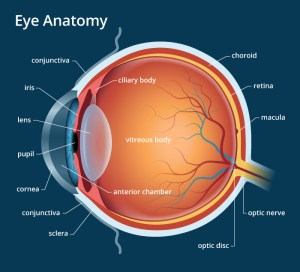Human Eye: Anatomy, parts and structure  Online Biology Notes