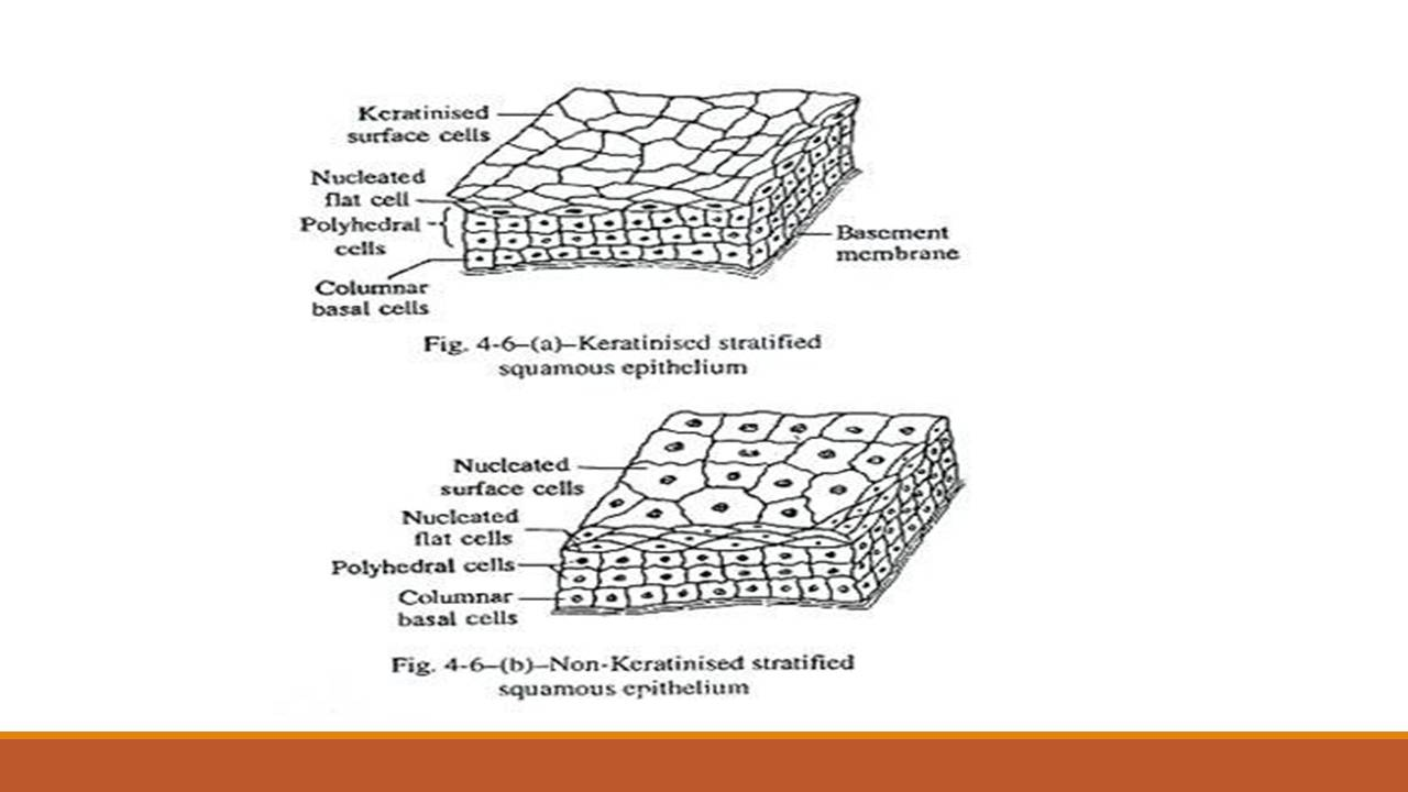 stratified columnar epithelium diagram vw lupo wiring types of epithelial tissue simple compound and specialized non keratinized