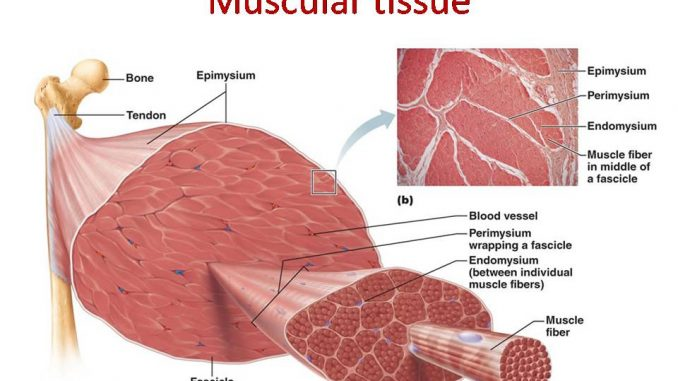 cardiac muscle tissue diagram labeled 1992 club car 36 volt wiring skeletal fibers diagrams muscular smooth and anterior