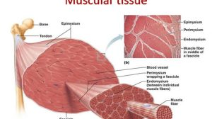 Muscular tissue: skeletal, smooth and cardiac muscle