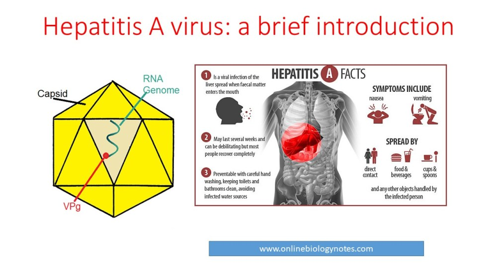 medium resolution of hepatitis a virus hav properties classification mode of transmission pathogenesis clinical features and laboratory diagnosis online biology notes