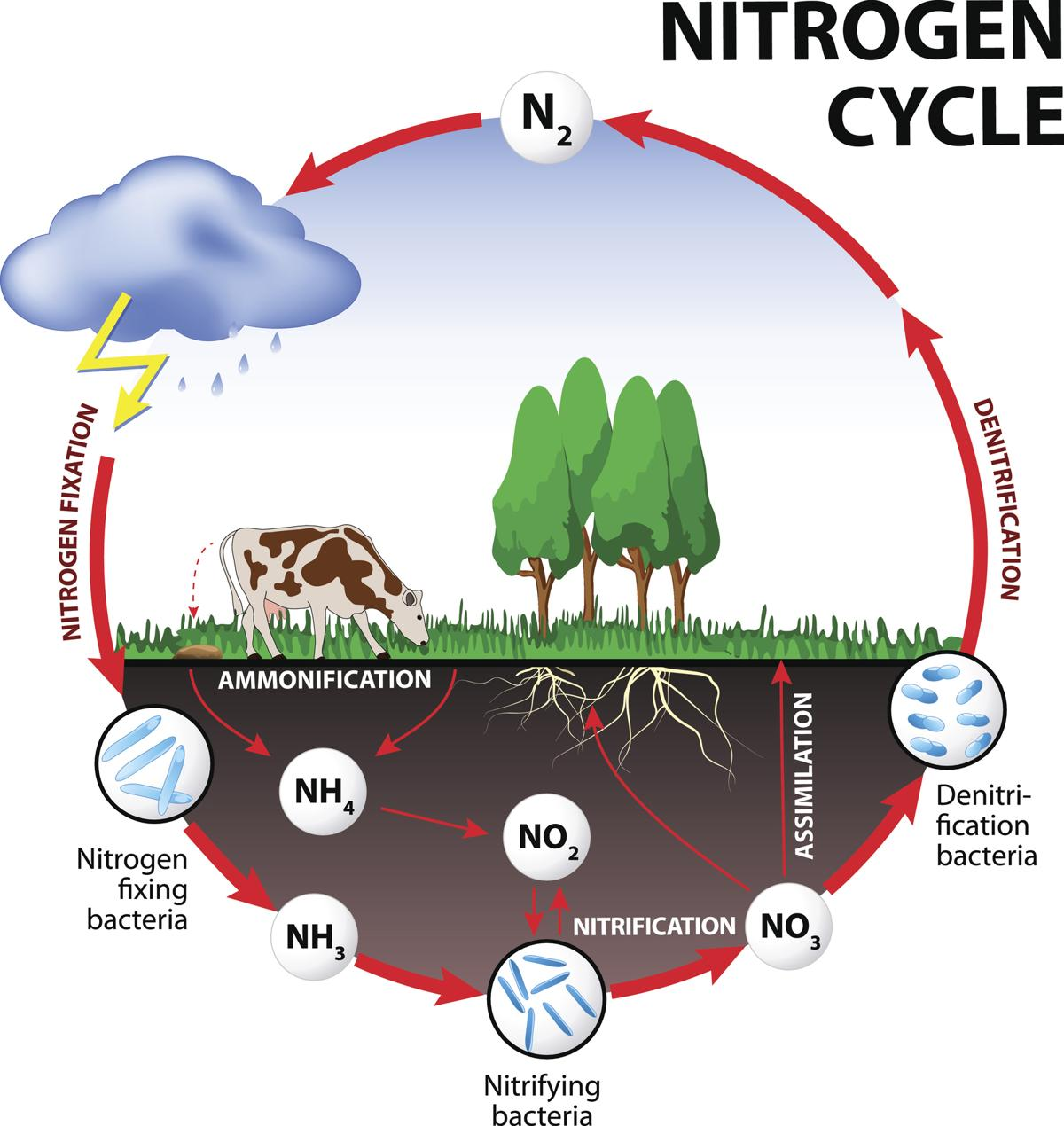 hight resolution of nitrogen cycle steps of nitrogen cycle online biology notes easy diagram of the nitrogen cycle