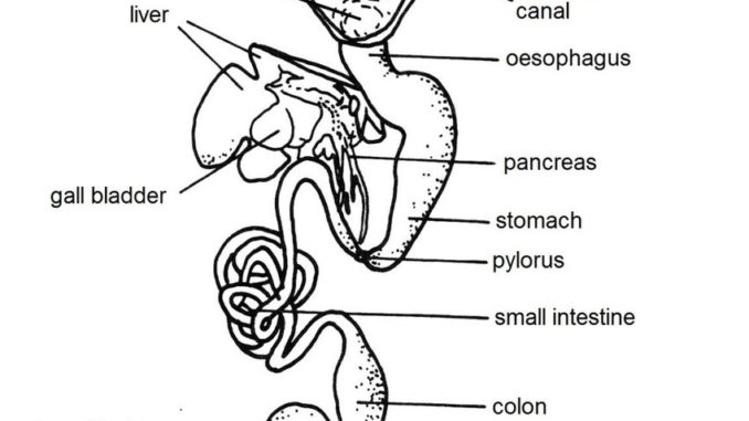 Digestive system of frog: Anatomy and Physiology of