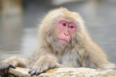 Snow Monkey by Student Gary Nichols