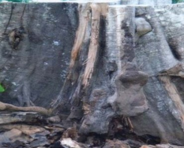 A Tree Resurrects in Imo State after 2yrs