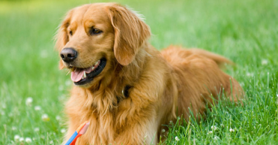 Top 6 Best Dog Breeds, Characteristics & Life Expectancy