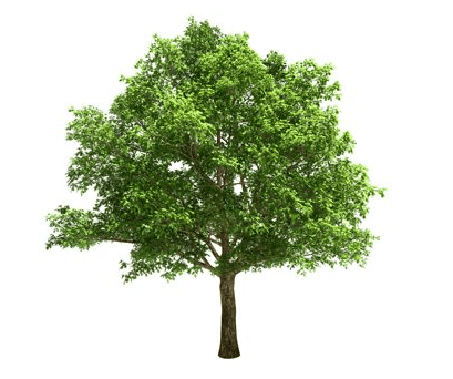 USA Oak tree