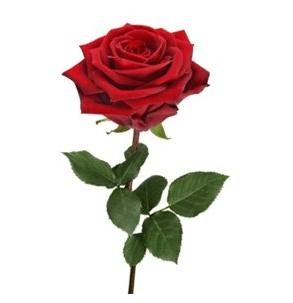 USA Rose flower