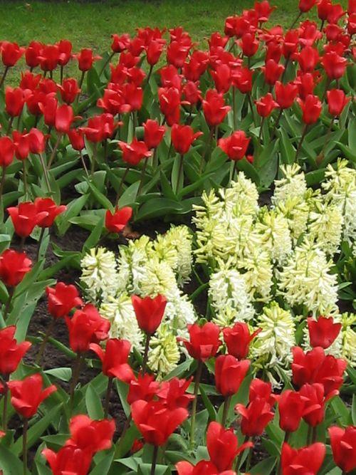 Tulip - Copyright https://www.onlineflowergarden.com