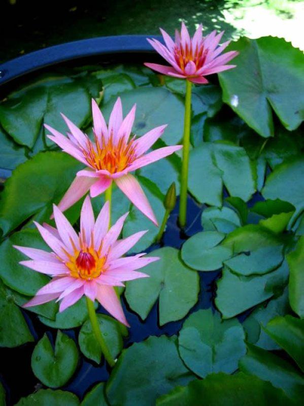 Water Lily Copyright https://www.onlineflowergarden.com