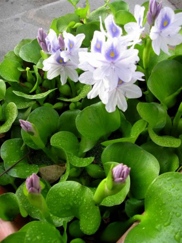 Water Hyacinth copyright https://www.onlineflowergarden.com