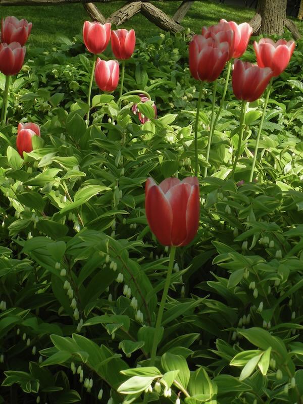 Polygonatum, Tulips, Central Park, New York City