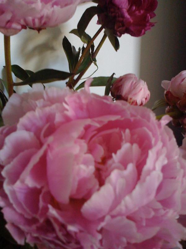Peony, online-flower-garden.com