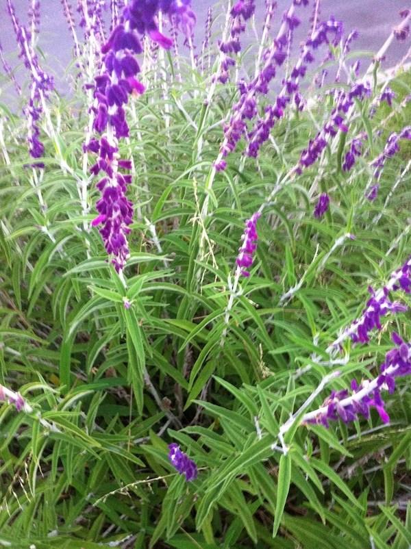 Mexican Sage onlineflowergarden.com