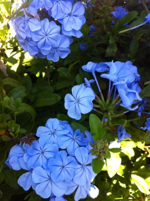 Blue Jasmine, Plumbago auriculata