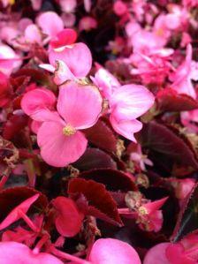 Begonia onlineflowergarden.com