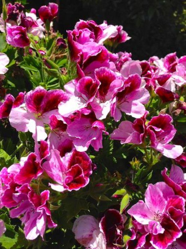 Geranium onlineflowergarden.com