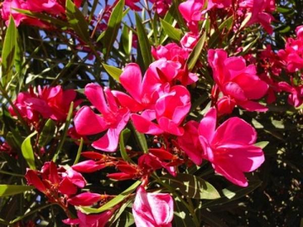 Nerium Oleander onlineflowergarden.com