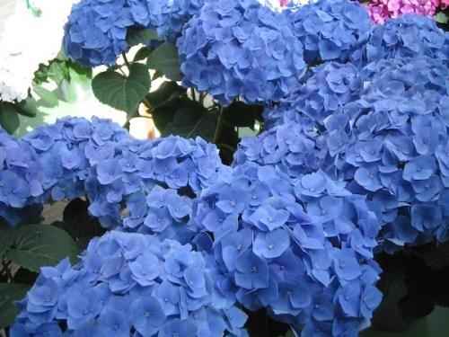 Hydrangea onlineflowergarden.com