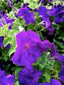 Petunia www.onlineflowergarden.com