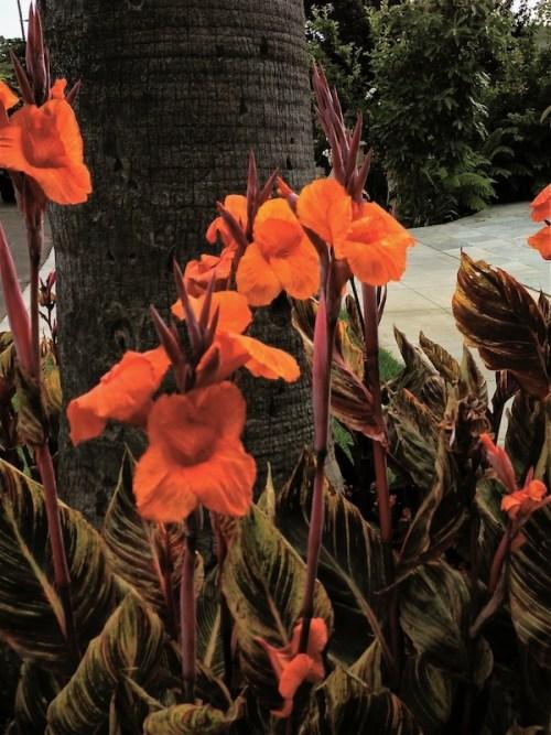 Canna Lilly www.onlineflowergarden.com
