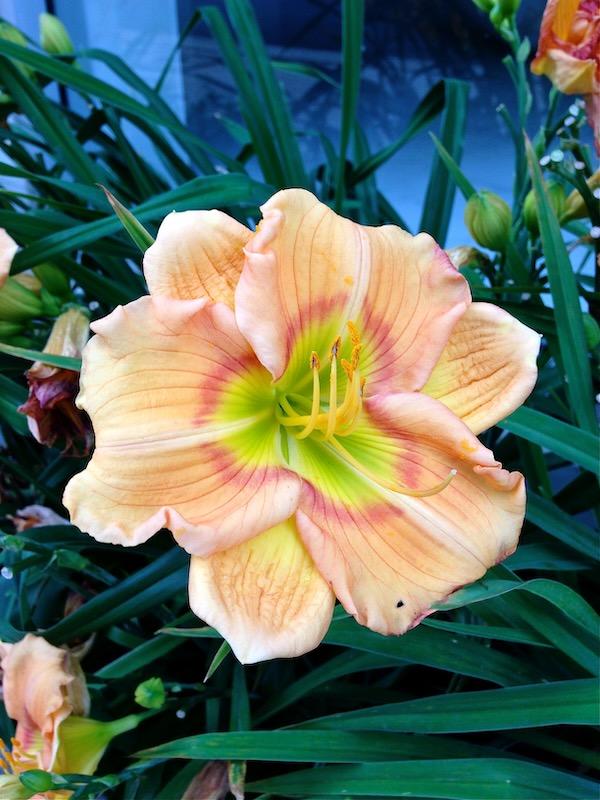 Daylily www.onlineflowergarden.com