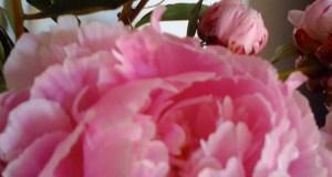 Peonies © onlineflowergarden.com