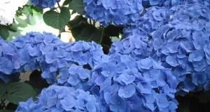 Blue Hortensia © onlineflowergarden.com