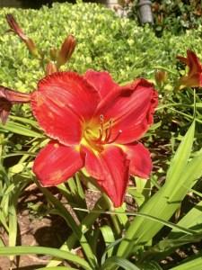 Daylily or Hemerocallis