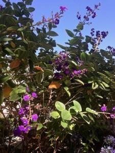 Glory Bush Tibouchina lepidota