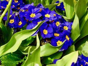 Primula 'Crescendo Blue Shades'