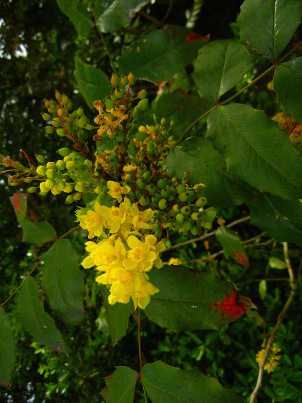 Regent's Park, Berberis aquifolium or Oregon Grape