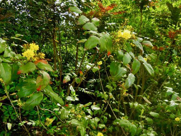 Berberis aquifolium