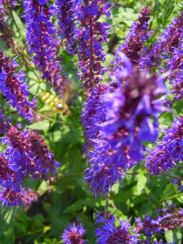 Salvia nemorosa, Wesuwe