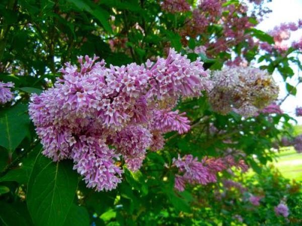 Preston Lilac or Syringa prestoniae
