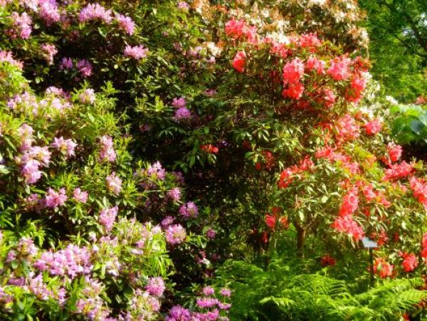 Kew, Rhododendron