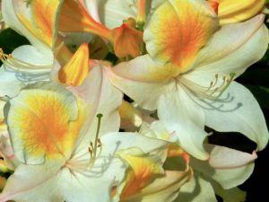 Rhododendron 'Bridesmaid'