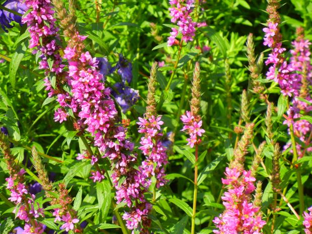 Salvia Nemorosa - Pink Friesland